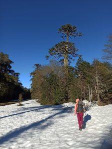 Route dans une forêt d'Araucarias